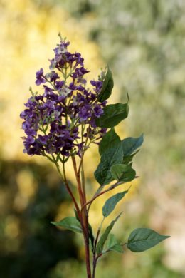 Lilac - Mauve - long stem