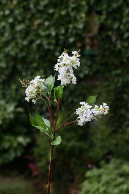 Lilac - Long Stem White