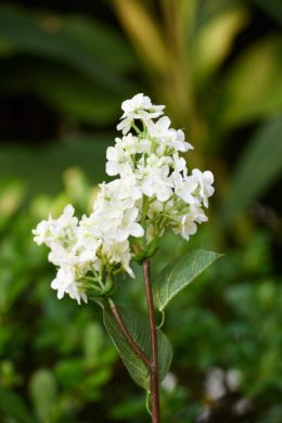 Lilac -  White Short Stem
