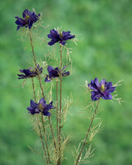 Love in the Mist (Nigella) Purple