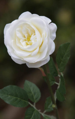 Old English  Med Rose Ivory