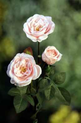 Spray Med Old English Roses x 4 Heads  Blush Pink