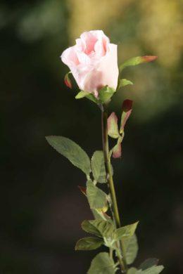Rose Bud Med  - Blush Pink