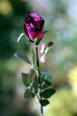 Rose Bud  Med- Dark Red
