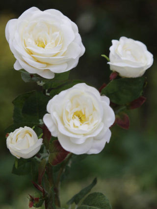 Spray Med Old English  Roses x 4 Heads Ivory