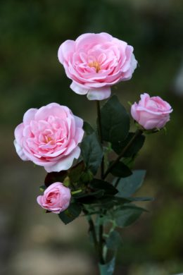 Spray Med Old English  Roses x 4 Heads  Pale Pink