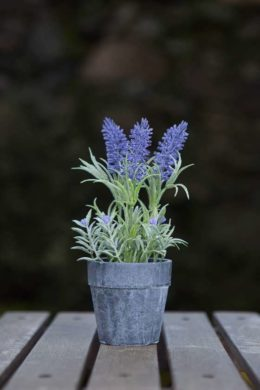 Lavender - mini  pot