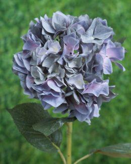 Hydrangea Dusky Blue Hydrangea