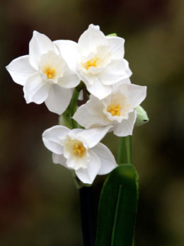 Narcissi - White
