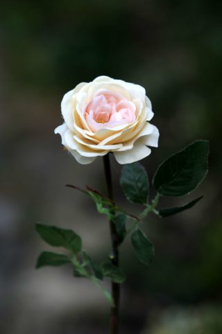 Old English Med Rose  Pale Apricot
