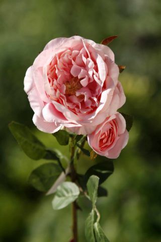 Old English Rose with Bud  Light Pink