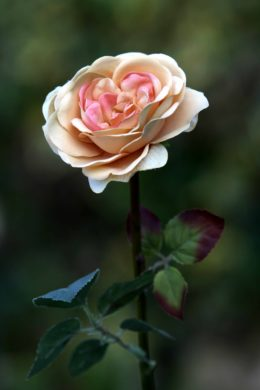 Old English Rose -Med- Apricot