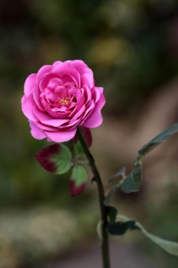 Old English Rose -Med- Bright Pink