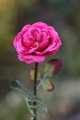 Old English Rose -Med- Dark Pink