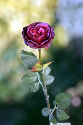 Old English Rose -Med-Dark Red