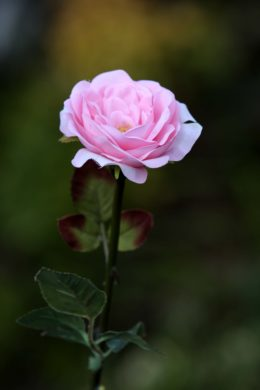 Old English Rose -Med- Pale Pink