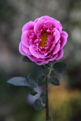 Old English Rose  Single  Bright Pink