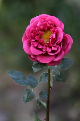 Old English Rose  Single Dark Pink