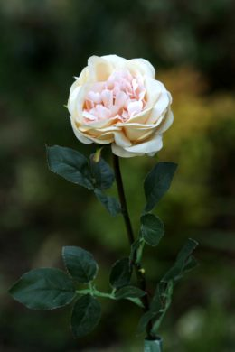 Old English Rose  Single Pale Apricot