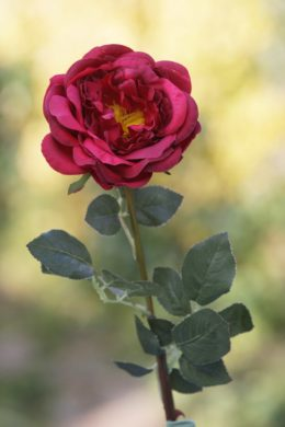 Old English Rose  Single Red