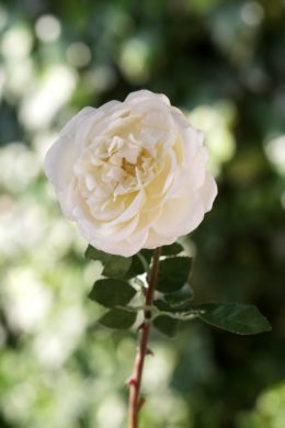 Old English Rose Single Ivory