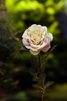 Old English Rose Vintage Pink