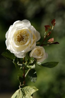 Old English Rose Ivory with bud