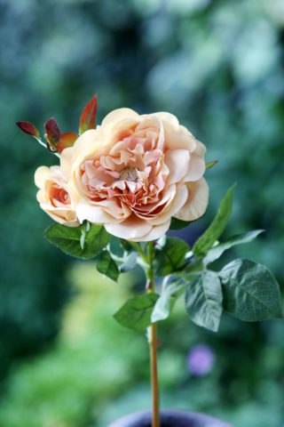 Old English Rose with Bud Apricot