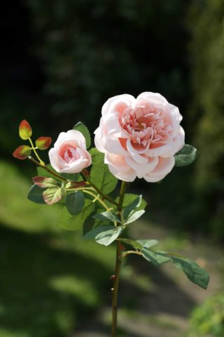 Old English Rose with Bud  Blush Pink