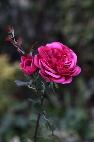Old English Rose with Bud Bright Pink