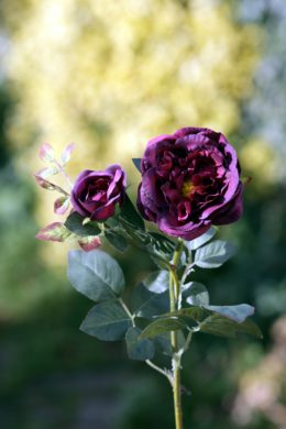 Old English Rose with Bud  Dark Red