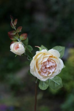 Old English Rose with Bud Pale Apricot