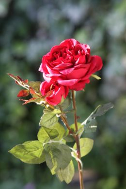 Old English Rose with Bud Red