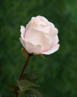 Large bud  Antique Pink