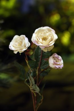 Old English Spray Roses  Vintage Pink x 4 heads