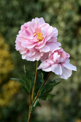 Peony - Large Pale Pink with bud