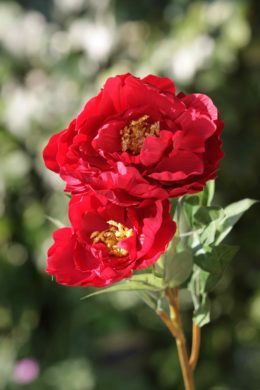 Peony - Large Red with bud