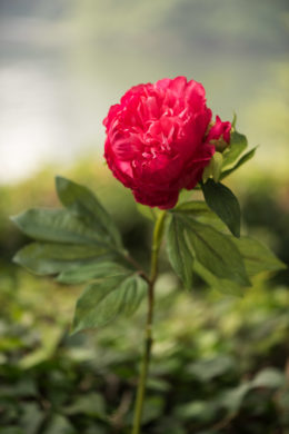 Peony -  Bright Pink - Double full petalled with bud
