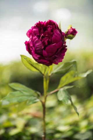 Peony -  Dark Pink - Doubled full petalled with bud