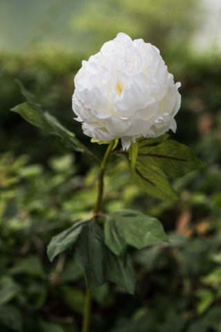Peony -  White - Double full petalled  with bud