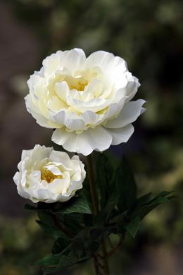 Peony - Large Full Blown With Bud Ivory