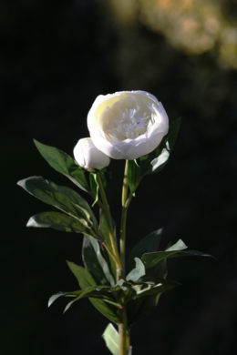 Peony -  Japanese form white with a bud