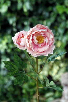 Peony - Large Full Blown With Bud Mixed Pinks