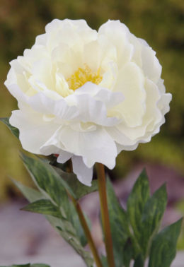 Peony - Large  Ivory Single