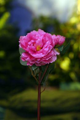 Peony - With Bud Cerise  Pink