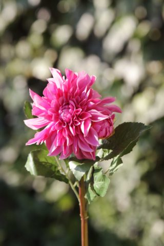 Dahlia   Bright Pink