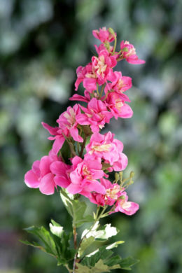 Delphinum Pink