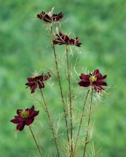 Love in the Mist ( Nigella) Burgundy