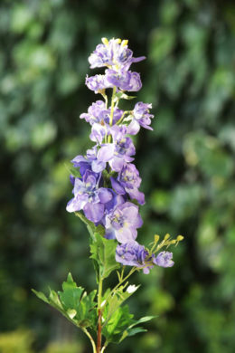 Delphinum Purple