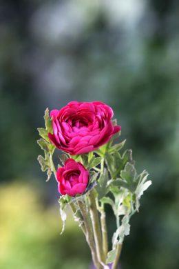 Ranucular - Dark Pink
